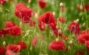 Картинка лето, цветы, маки, размытие, луг, красные, бутоны, алые, много, боке, маковое поле