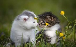 Картинка кошки, цветы, котенок, пара, котята, малыши, парочка, дуэт, лужайка, два