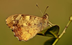 Картинка листья, веточка, бабочка, краеглазка эгерия