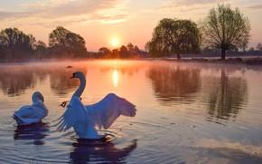 Картинка солнце, пейзаж, птицы, природа, туман, озеро, рассвет, утро, лебеди