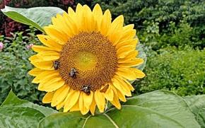Картинка sunflower, Rainy Day, Sunflowers, Fred Fletcher Park, Jim Perry