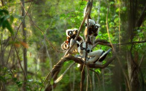 Картинка лес, ветки, джунгли, лемур, лемуры, компания, позы, лианы