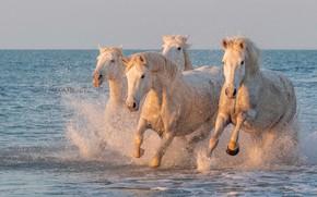 Картинка море, брызги, берег, кони, лошади, белые, стадо, скачут, стадо лошадей
