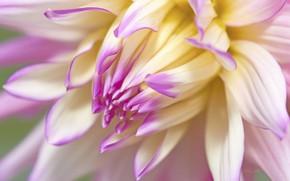 Картинка макро, цветок, георгина
