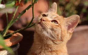 Картинка кошка, кот, взгляд, морда, ветки, портрет, рыжий, шипы, размытый фон, смотрит вверх