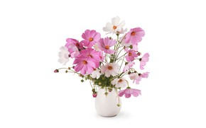 Картинка цветы, белый фон, ваза, космея