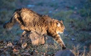 Картинка кошка, кот, листья, поза, серый, поляна, камень, лапа, весна, прогулка, котяра