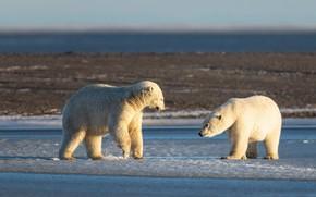 Картинка зима, белый, свет, снег, природа, поза, берег, медведь, медведи, пара, белый медведь, два, белые медведи, …