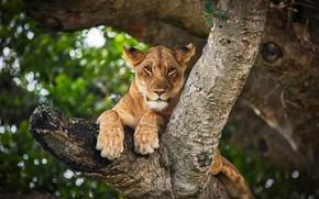 Картинка взгляд, морда, ветки, природа, фон, дерево, лапы, львица, дикая кошка, сук, боке