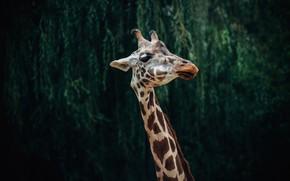 Картинка морда, листья, природа, темный фон, портрет, жираф, шея