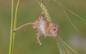Картинка макро, фон, мышка, колосок, грызун, акробатика, Harvest Mouse, Мышь-малютка