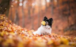 Картинка осень, природа, листва, листок, собака, листик, листопад, собачка, папийон, папильон