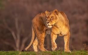 Картинка взгляд, природа, поза, фон, прогулка, львица, дикая кошка