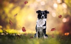 Картинка осень, трава, взгляд, морда, листья, свет, природа, поза, парк, фон, настроение, листва, черно-белая, портрет, собака, …