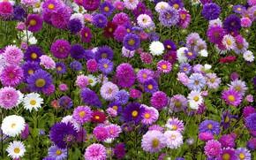 Картинка клумба, астры, осенние цветы