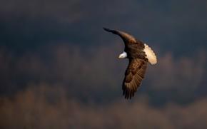 Картинка фон, птица, полёт, Белоголовый орлан
