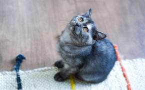 Картинка кошка, взгляд, котенок, серый, пол, коврик, котёнок, сидит, ракурс