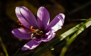 Картинка макро, пчела, лепестки, крокус