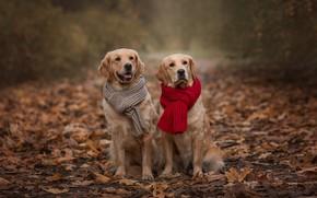 Картинка осень, животные, собаки, листья, пара, шарфы, ретриверы, Виктория Дубровская