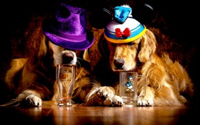 Картинка собаки, стакан, две, лапы, кружка, рыжие, золотистый, на полу, морды, шляпы, лежат, ретривер