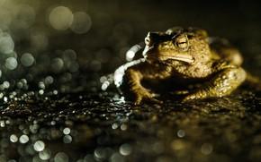 Картинка взгляд, макро, блики, пруд, темный фон, лягушка, жаба, водоем, боке