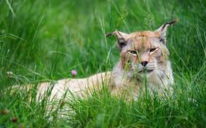 Картинка трава, морда, лежит, рысь