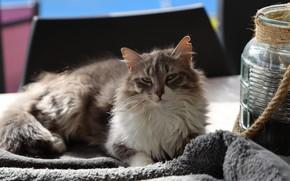 Картинка кошка, банка, лежит, пушистая, серая с белым