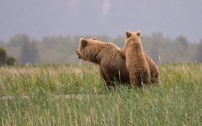 Картинка поле, небо, трава, морда, природа, поза, поляна, спина, малыш, медведь, медведи, мишка, пара, медвежонок, детеныш, …