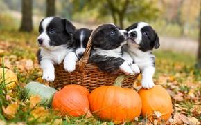Картинка осень, собаки, трава, взгляд, природа, поза, парк, вместе, поляна, листва, собака, сад, щенки, тыквы, щенок, …