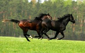 Картинка зелень, поле, лес, лето, трава, природа, газон, вместе, черный, две, блеск, кони, весна, лошади, луг, ...