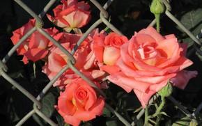Картинка лето, сетка, розы, 2018, июнь, Mamala ©