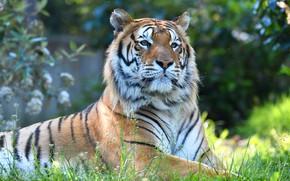 Картинка морда, природа, тигр, фон, портрет, лежит, взляд, боке