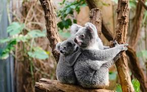 Картинка взгляд, листья, ветки, природа, фон, дерево, малыш, детеныш, два, сидят, коала, мать, милые, мишки коала