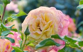 Картинка роза, куст, бутон, лепески