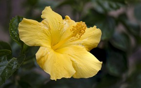 Картинка цветок, листья, макро, желтый, гибискус