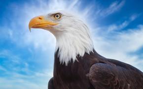 Картинка небо, птица, клюв, Белоголовый орлан
