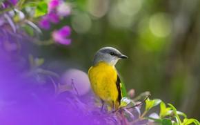 Картинка птица, боке, Серогорлый длиннохвостый личинкоед