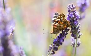 Картинка макро, цветы, фон, бабочка, насекомое, лванда