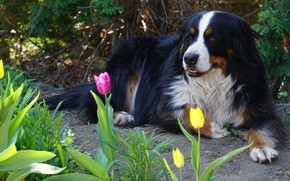 Картинка взгляд, морда, цветы, природа, поза, отдых, собака, весна, сад, тюльпаны, лежит, тропинка, бернский зенненхунд, в …