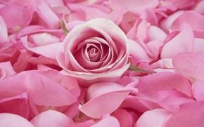 Картинка розовая, роза, лепестки, бутон