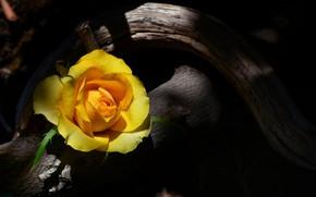 Картинка роза, коряга, желтая
