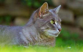 Картинка кошка, трава, кот, морда, природа, серый, лежит, профиль, зеленый фон, боке