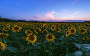 Картинка поле, лето, небо, листья, облака, подсолнухи, пейзаж, закат, цветы, синева, вечер, желтые, горизонт, сумерки, синее, …