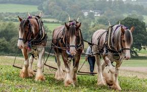 Картинка поле, лошади, трио, пашут
