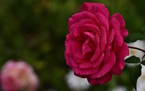 Картинка цветок, макро, розовая, роза, сад, боке