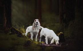 Картинка лес, собаки, гончая, Наталия Поникарова, Испанская гончая, Сабуэсо эспаньол