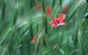 Картинка пшеница, поле, мак