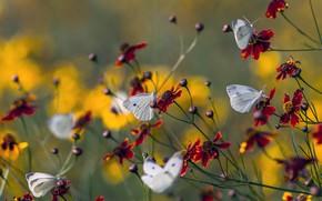Картинка лето, макро, бабочки, цветы, природа, бутоны