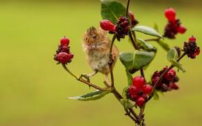 Картинка ягоды, мокрая, ветка, мышь, малютка