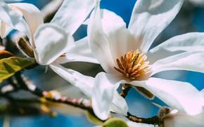 Картинка макро, свет, цветы, ветки, весна, белые, цветение, магнолия